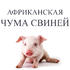 Африканская чума свиней расширяет географию вспышек опасного заболевания